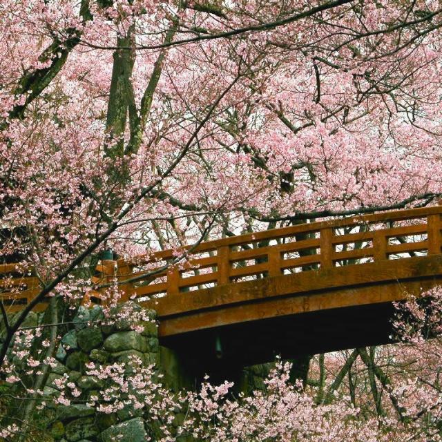 cherry blossoms granton